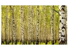 Fotótapéta - Birch erdő