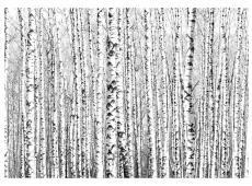 Fotótapéta - Birch forest
