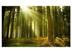 Fotótapéta - Fenyőerdő