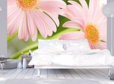 Fotótapéta - Két rózsaszín gerbera százszorszép