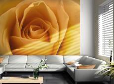 Fotótapéta - Sárga rózsa - a jelképe a barátság