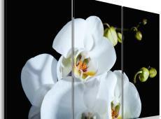 Kép - Snowy orchidea