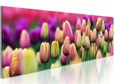 Kép - Szivárványszínű tulipán