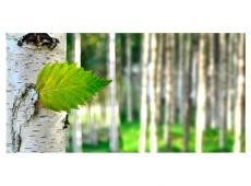 XXL Fotótapéta - Birch leaf